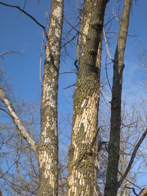 Signs of EAB infestation include woodpecker damage where the birds pick away bark to feed on larvae. - Photo credit: DNR